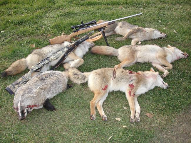 coyote hunting essay Everyone in america has a coyote story or if you don't coyotes are just like hipsters habitat for hunting and denning might be scattered because of.